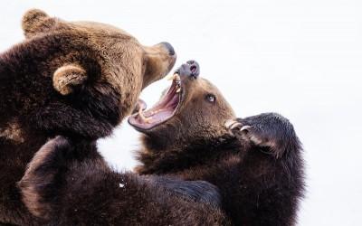 Watch the bears