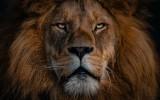 Leeuw (foto: Unsplash, Ingo Stiller)