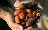 Vrucht van oliepalm